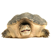 Snapping Turtle Image