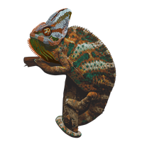 Chameleon Picture PNG Image