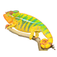 Chameleon Photos PNG Image