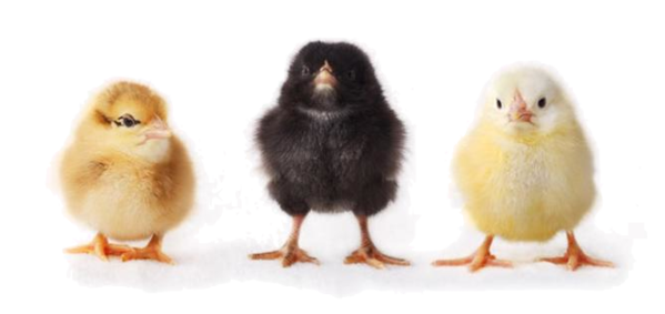 Baby Chicken File PNG Image