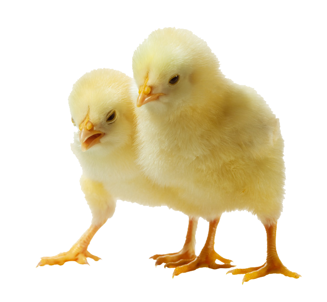Download Baby Chicken Clipart HQ PNG Image   FreePNGImg