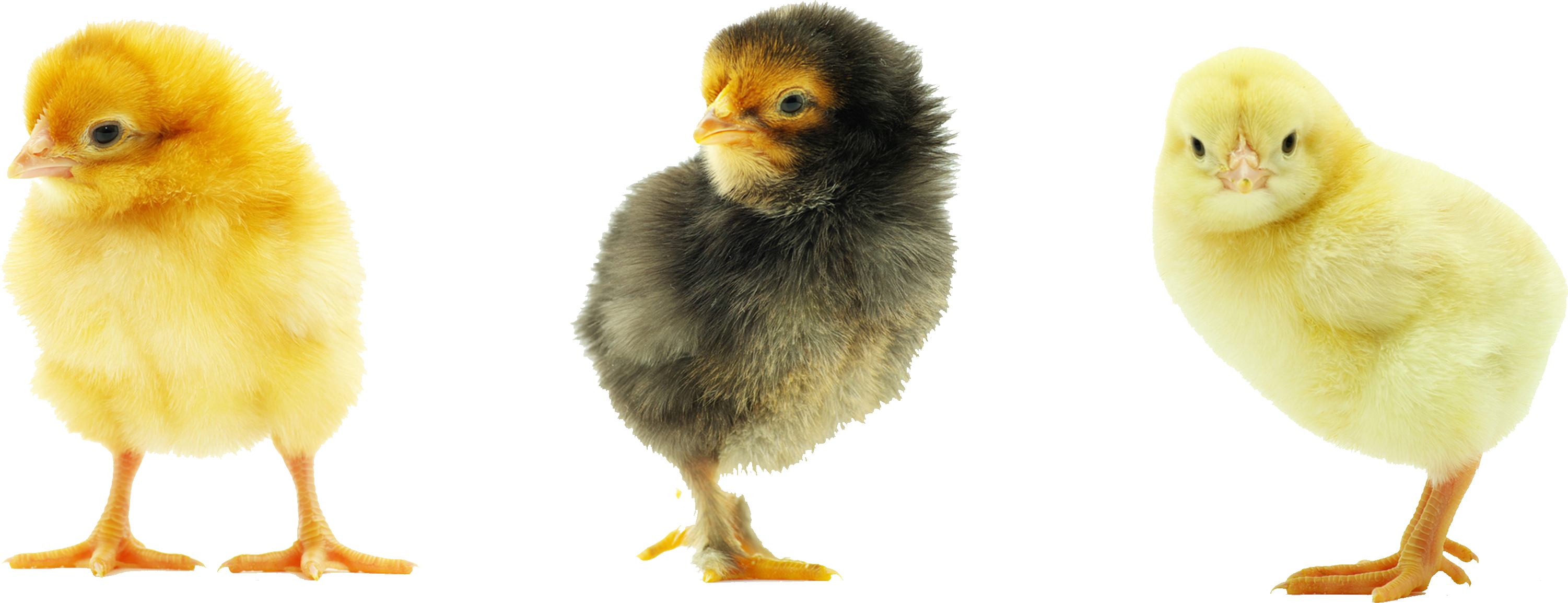 Baby Chicken Transparent Background PNG Image