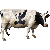 Cow Png Image PNG Image