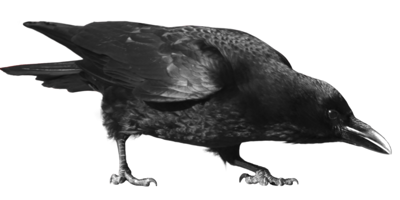 Crow Png Pic PNG Image