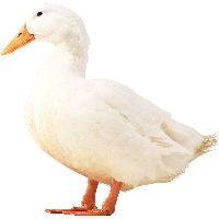White Duck Png Image PNG Image