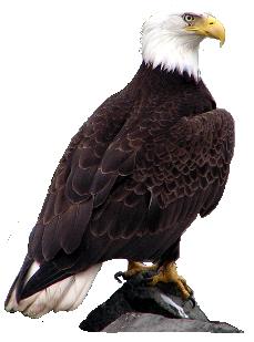 Download Bald Eagle Picture HQ PNG Image FreePNGImg