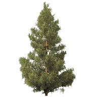 Fir-Tree Picture PNG Image