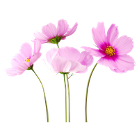 Colorful Flowers Transparent Image PNG Image