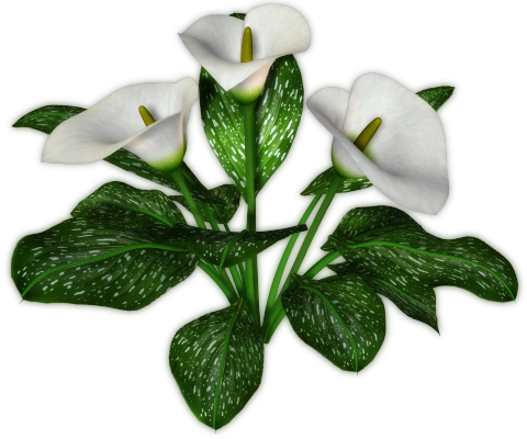 Calla Transparent Background PNG Image