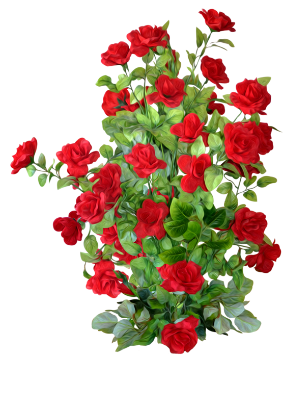 Petal Rose Roses Shrub Garden PNG Image High Quality PNG Image