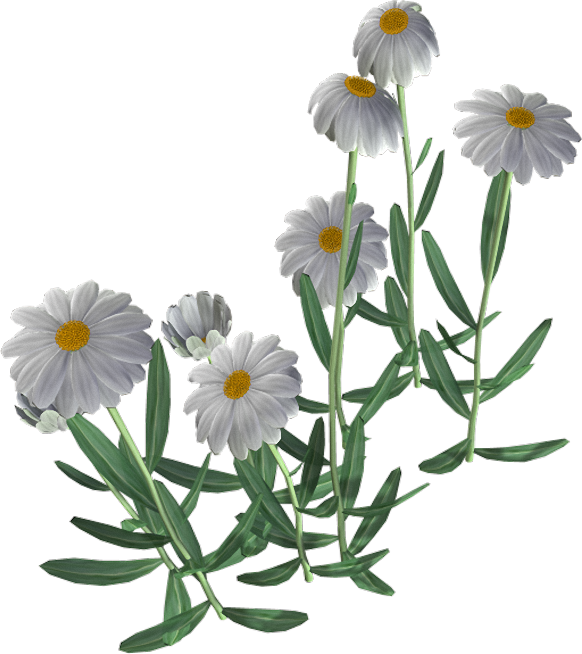 Beautiful Camomile Flower PNG Image