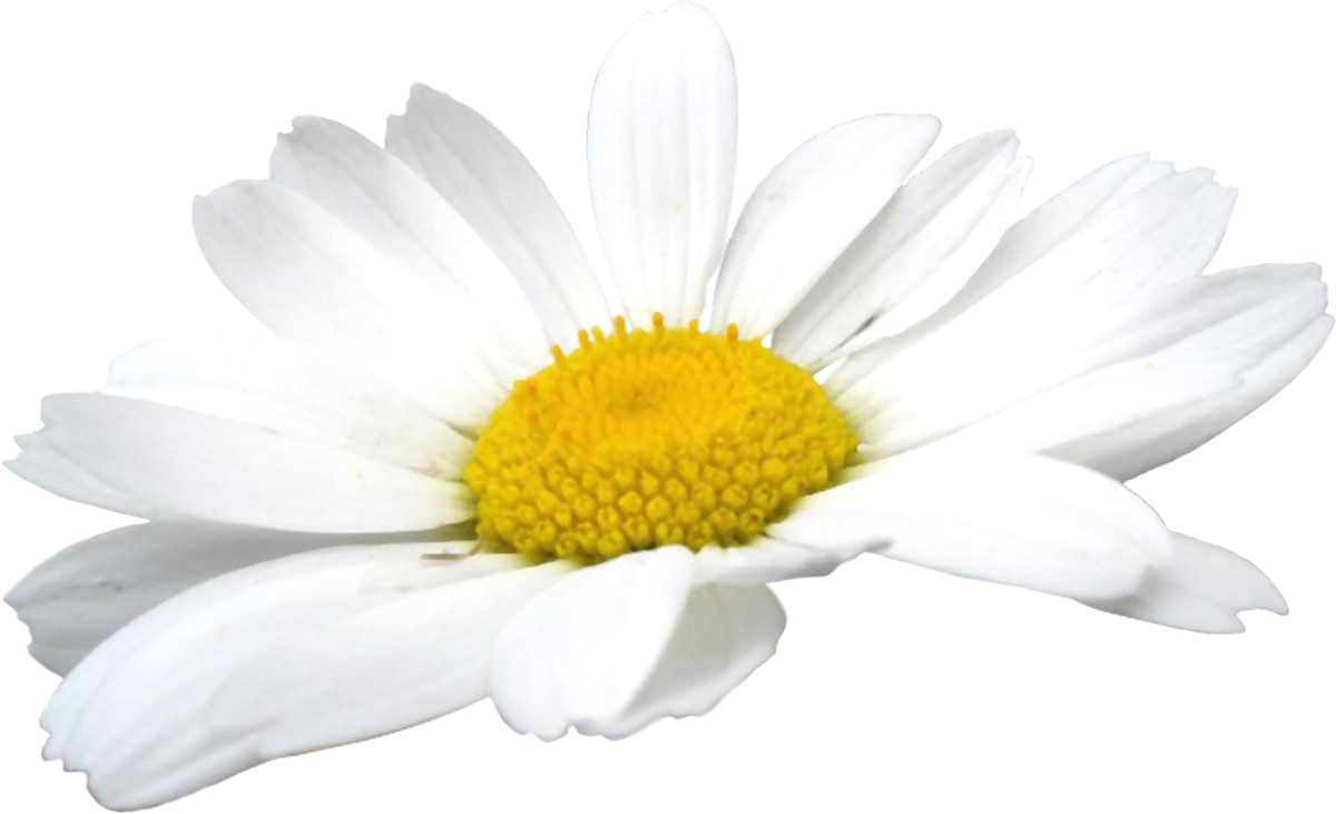 Camomile Flowers PNG Image