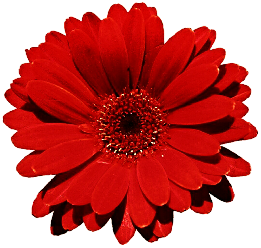 Gerbera Photo PNG Image