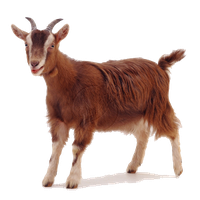 Download Goat Free Png Photo Images And Clipart Freepngimg