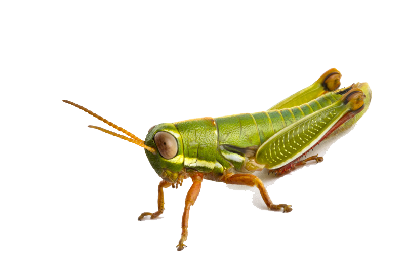 Grasshopper Photo PNG Image