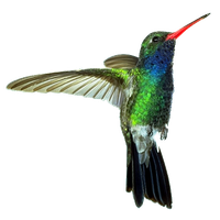 Hummingbird Transparent PNG Image