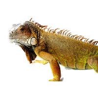 Iguana Picture PNG Image