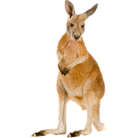 Download Kangaroo Free Png Photo Images And Clipart