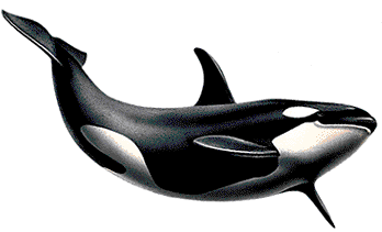 Killer Whale Png Picture PNG Image