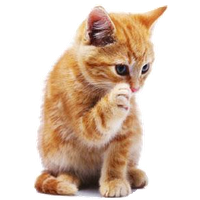 Kitten High-Quality Png PNG Image