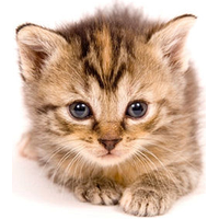 Kitten Png Pic PNG Image