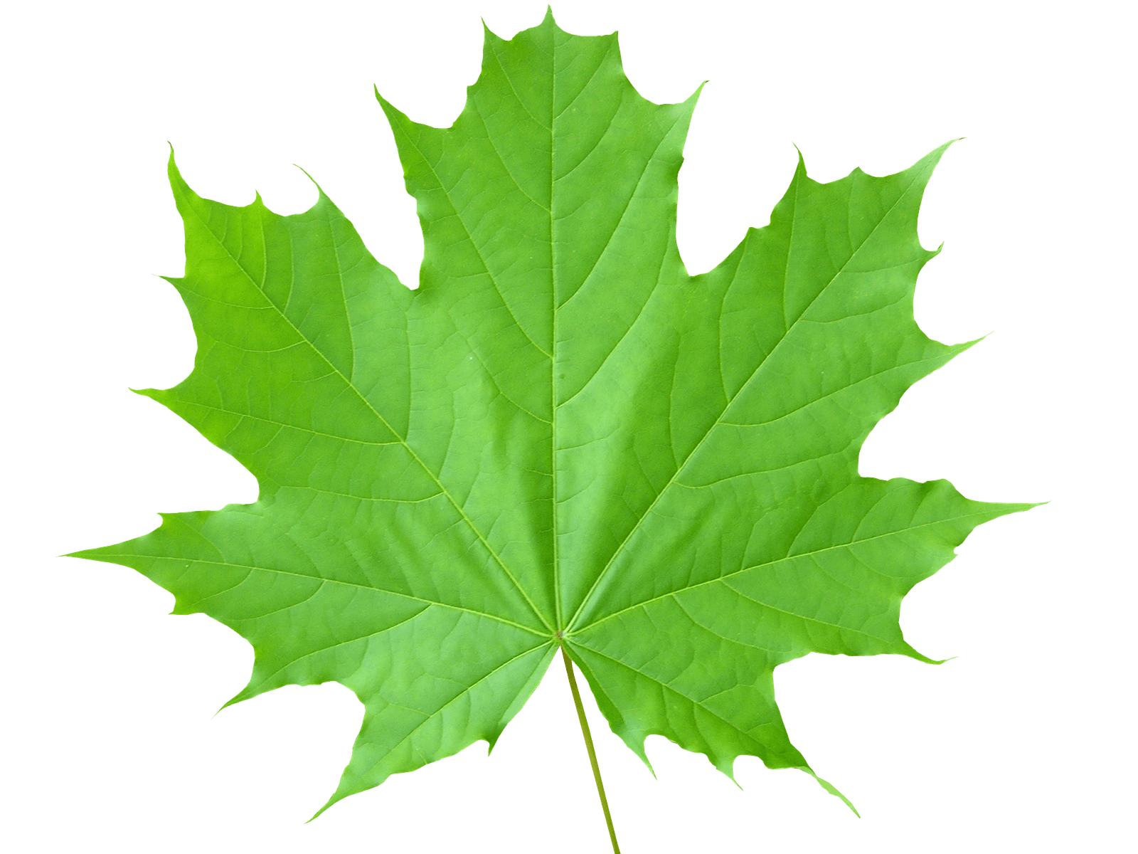 Leaf Photos PNG Image
