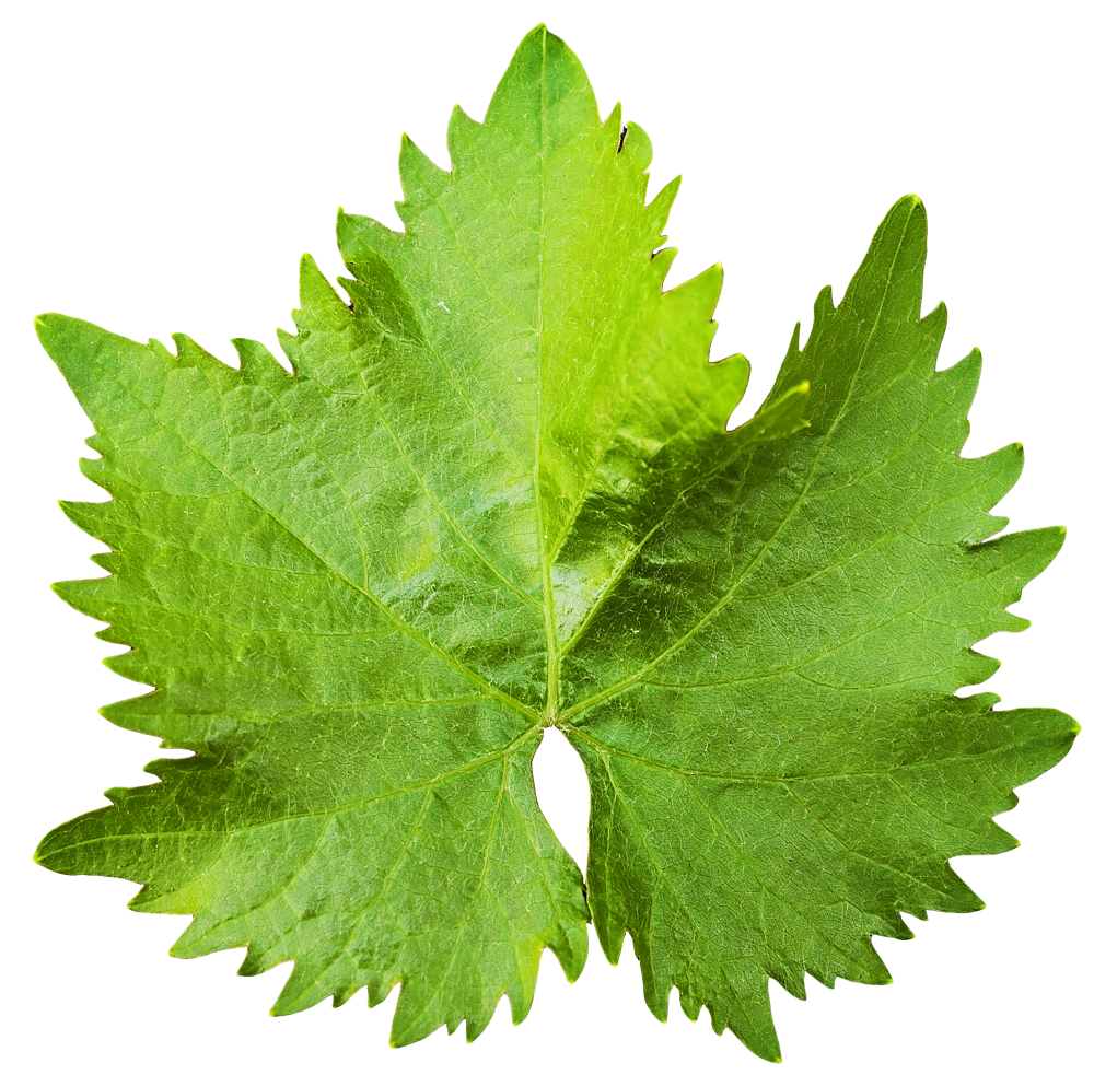 Leaf Transparent Image PNG Image