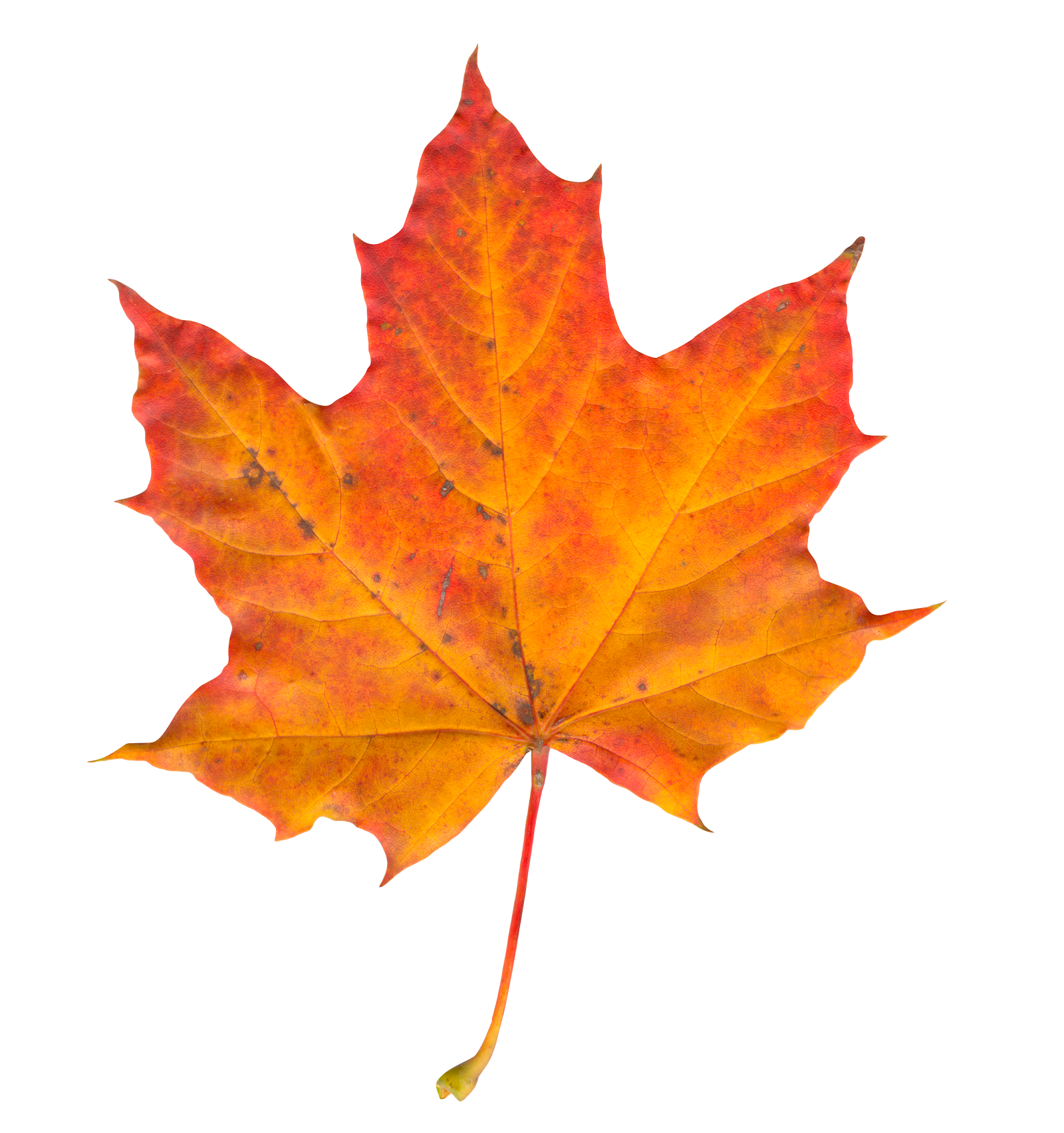 Leaf Photo PNG Image