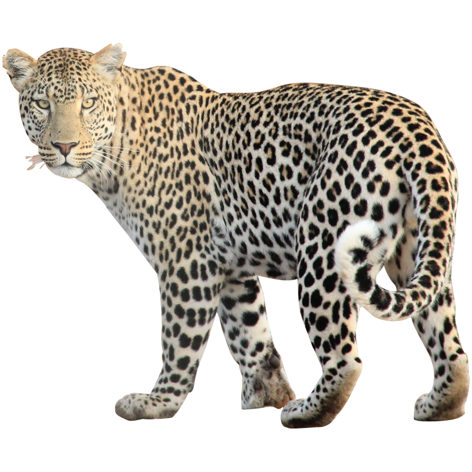 Leopard Free Png Image PNG Image