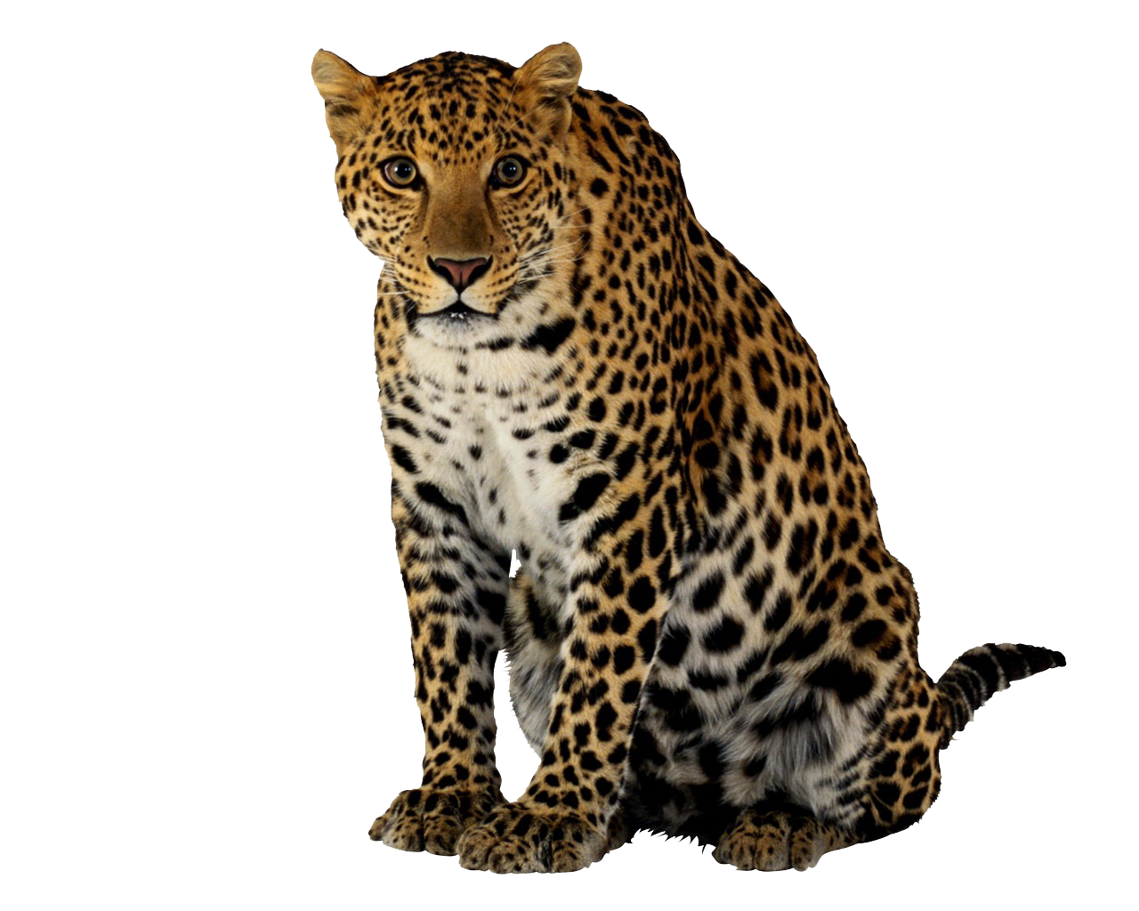 Leopard Png Clipart PNG Image