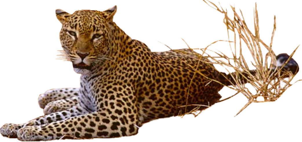 Leopard Png Pic PNG Image