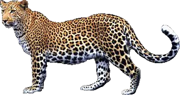 Leopard Png Picture PNG Image