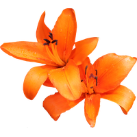 Lily Photo PNG Image