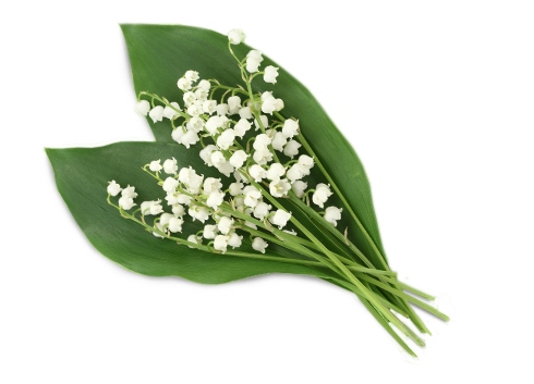 Lily Of The Valley Clipart PNG Image