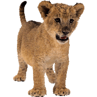 Small Lion Png Image PNG Image