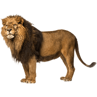 Lion Free Download Png PNG Image