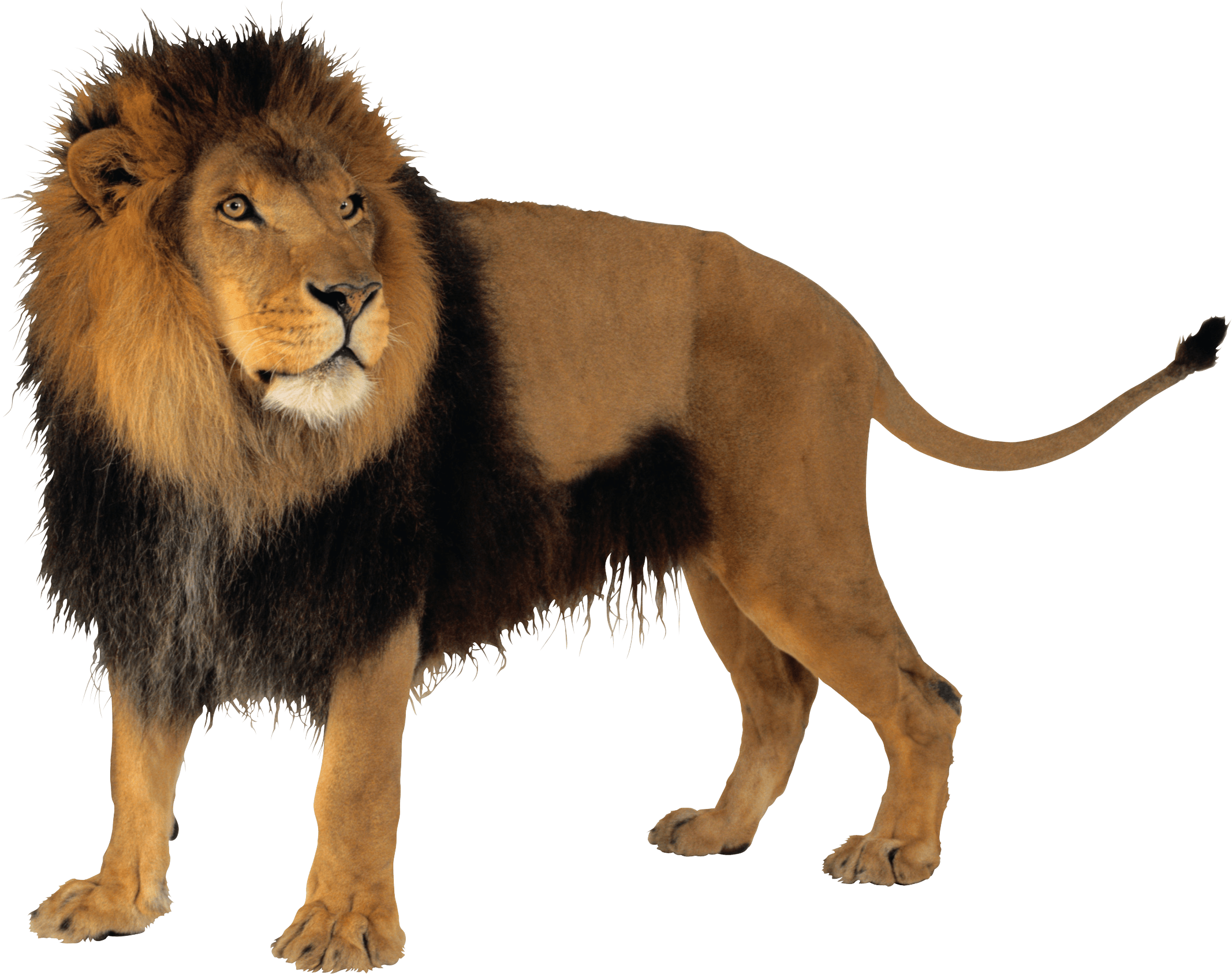 Lion Png Image PNG Image