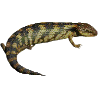 Lizard Clipart PNG Image