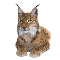 Lynx Free Download Png PNG Image