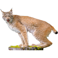 Lynx Picture PNG Image