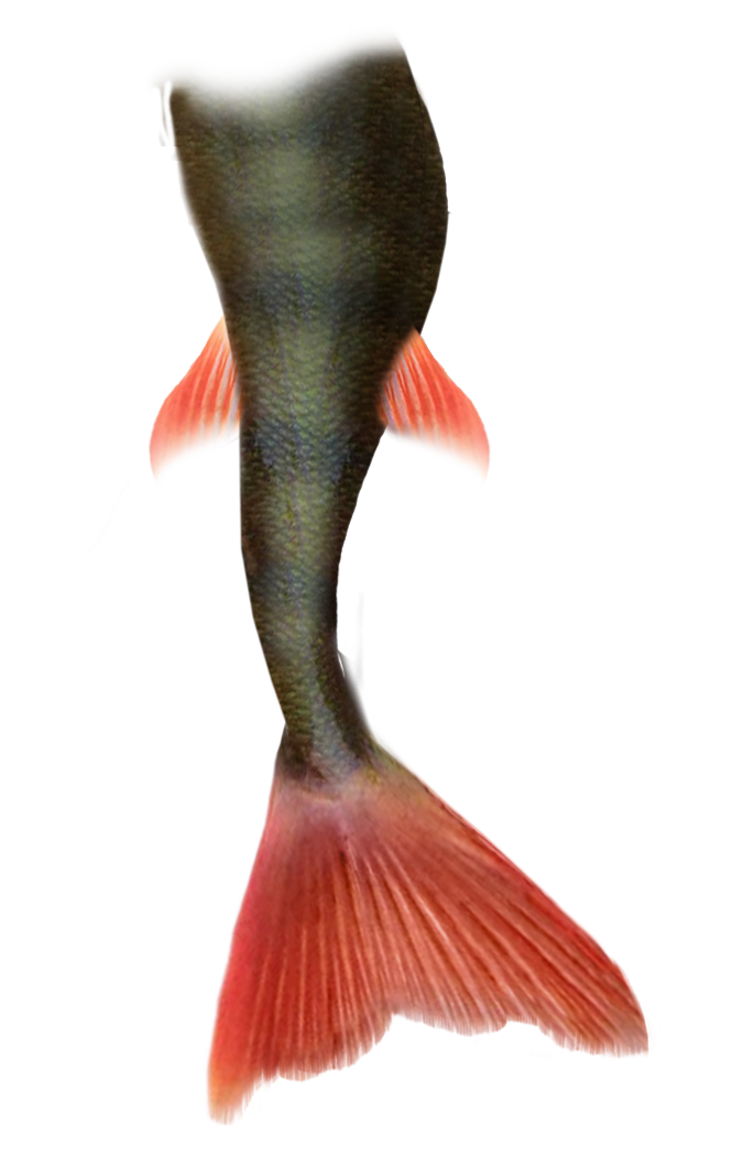 Mermaid Tail Png Pic PNG Image