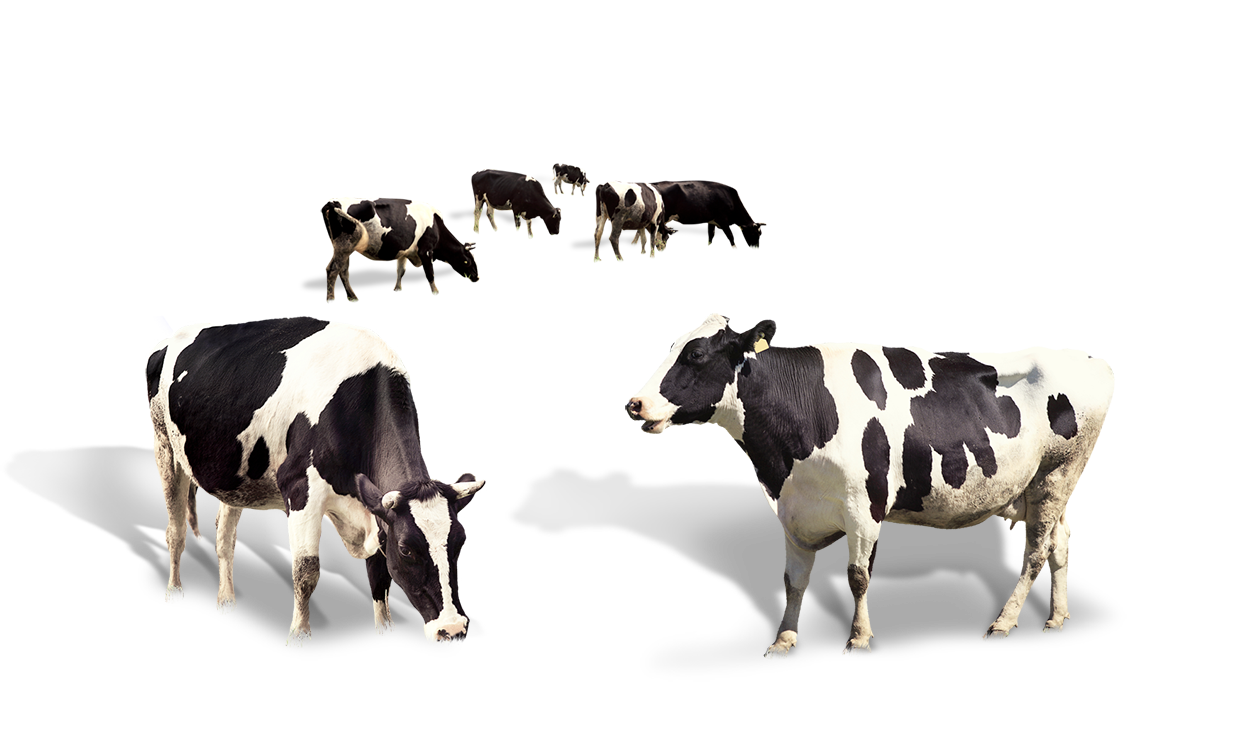 Cow Dairy Milk Taurus Cattle PNG Image High Quality PNG Image