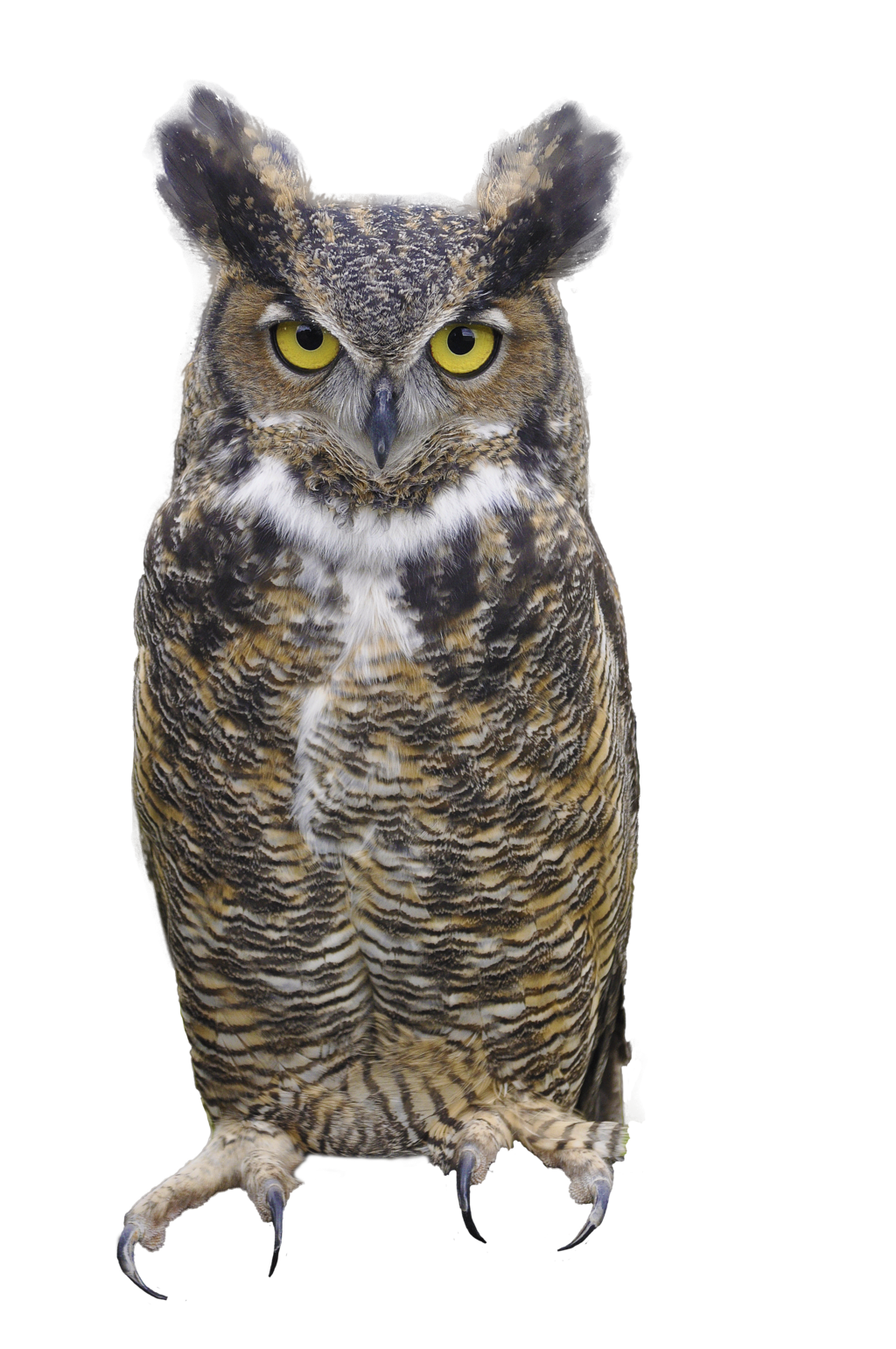 Owl Picture PNG Image