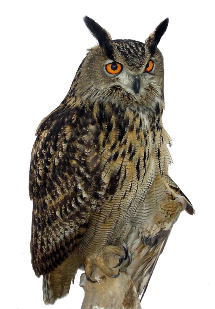 Owl Png Clipart PNG Image