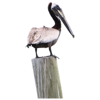 Pelican Png Pic PNG Image