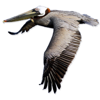 Pelican Free Png Image PNG Image