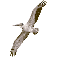 Pelican Picture PNG Image