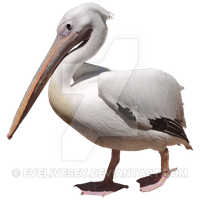Pelican Png Picture PNG Image