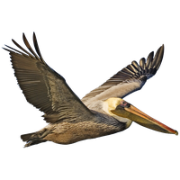 Pelican Png Image PNG Image