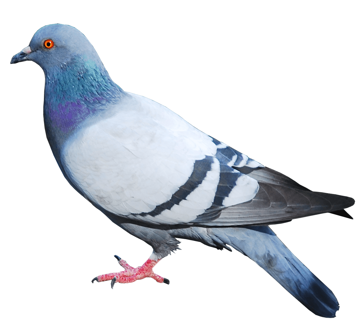 Pigeon Png Image PNG Image